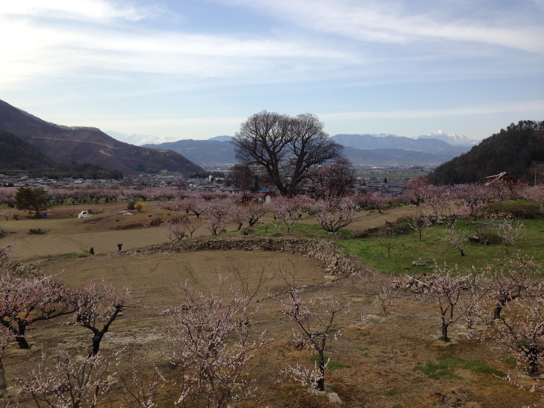 杏の花20174